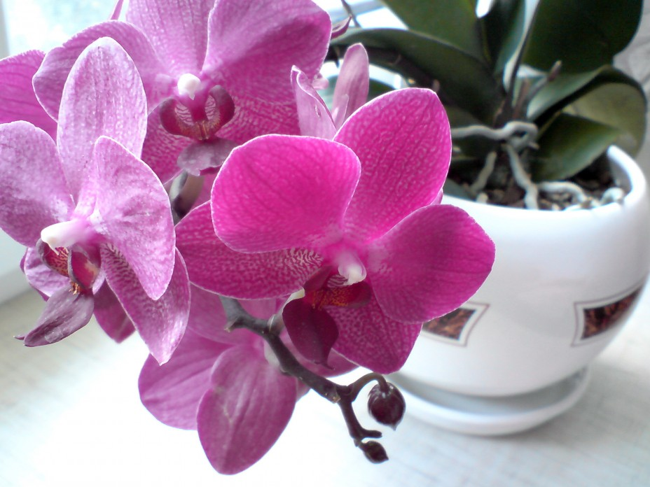 Viņa ielika orhidejas podiņā ledus gabaliņu. Pēc nedēļas notika brīnums!
