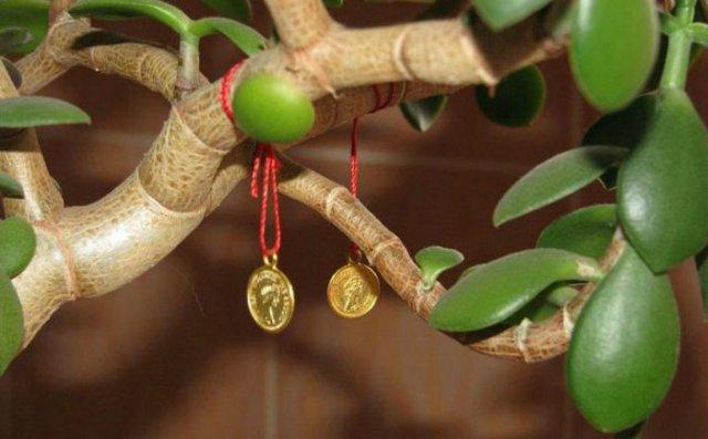 Kā izaudzēt naudas koku un piesaistīt bagātību mājās. Naudas koka kopšana – soli pa solim