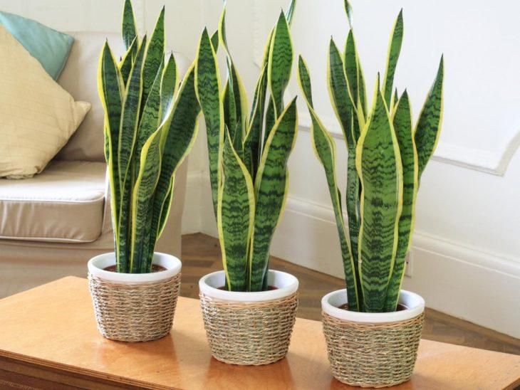 Viss, kas tev ir jāzina par istabas augu sansevierija, jeb līdakas aste