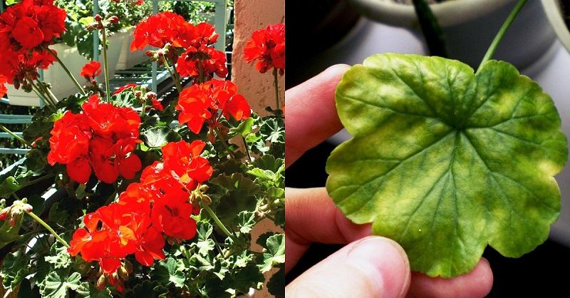 9 slimības, kuras ārstē ģerānija. Nevis puķe, bet gan dabas dziedinātāju palīgs!