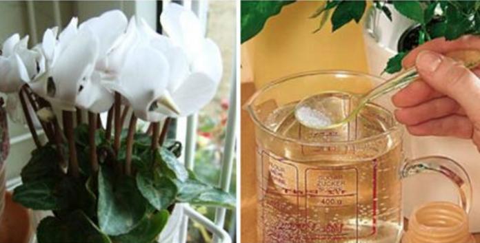 Floristi iesaka! Pateicoties šim līdzeklim istabas augi aug kā negudri! Neticami!