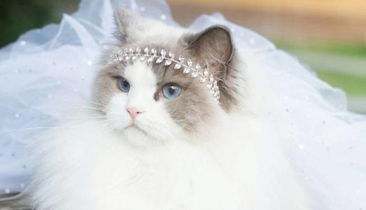 Visskaistākais kaķis pasaulē – gudra un uzticīga kā suns!