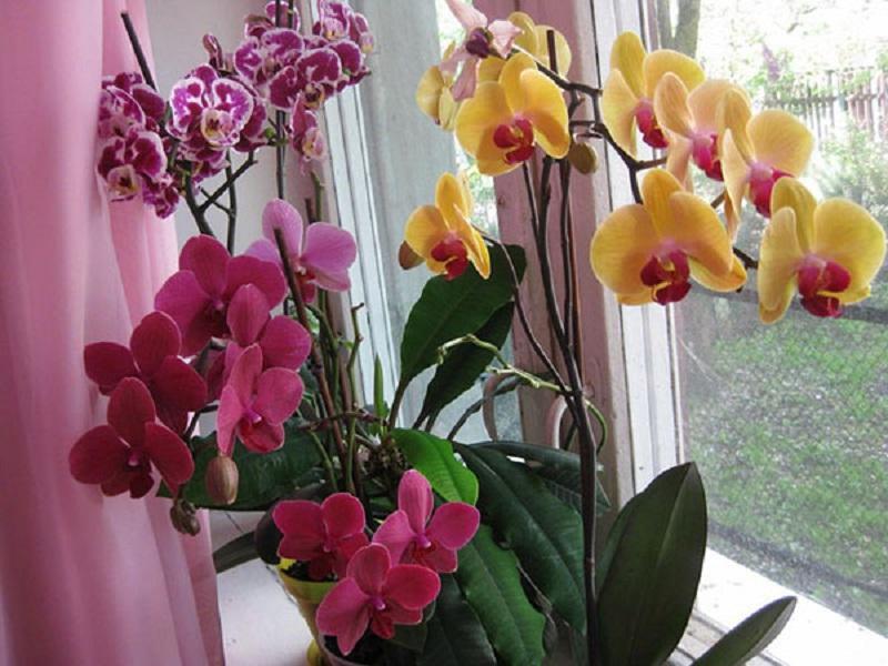 Viss, kas ir jāzina par orhideju ziedēšanu: pareizas kopšanas noslēpumi