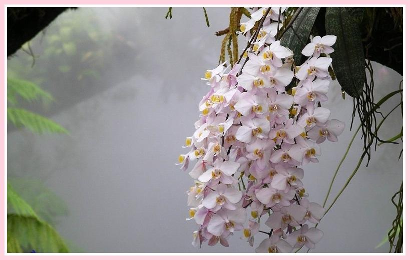 Uzzini kā pareizi veikt orhideju piebarošanu tā, lai tās koši ziedētu