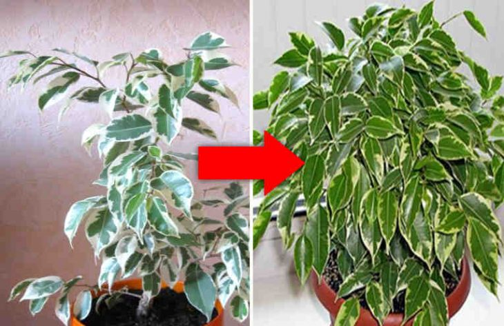 Kā atdzīvināt panīkušus istabas augus?