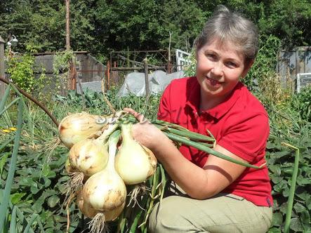 Īsa pamācība sīpolu audzēšanā
