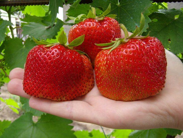 9 noslēpumi, kā izaudzēt lielas zemenes