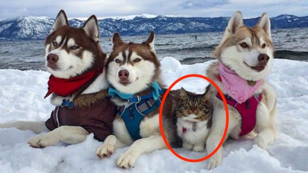 Kaķene, kuru izglāba un uzaudzināja haskiji, uzskata sevi par suni. Dīvainā ģimenīte!