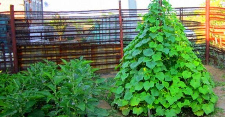 Liela raža garantēta, Ja vien gurķus jūs audzēsiet piramīdās! Izlasi, un atceries!