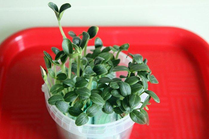 Ja jūs audzēsiet gurķus tieši tā, rezultāti jūs pārsteigs!
