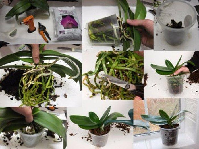 Kā pārstādīt orhideju: dažas šī vienkāršā procesa viltības