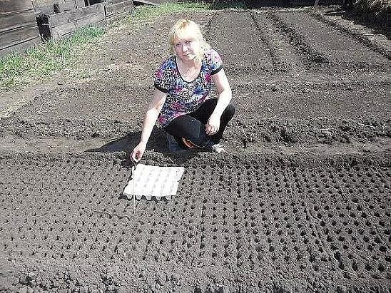 Kā ātri izveidot bedrītes zemē dārzeņu sēšanai: burkāni, sīpoli, ķiploki, redīsi u.c. Viss ģeniālais ir vienkāršs!
