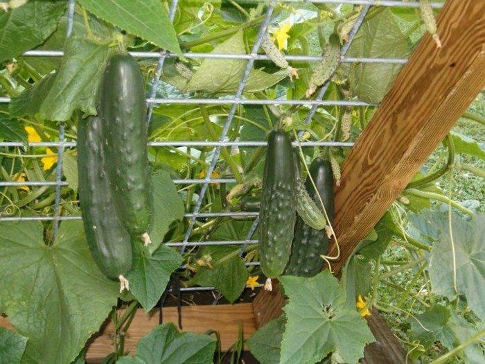 Gurķu audzēšanas noslēpums: darba mazāk, bet ražība lielāka