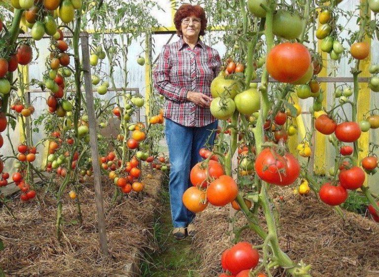 Ja jūs stādīsiet tomātus, tad bedrītēs noteikti ielejiet šo te!