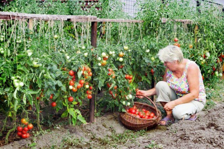 Lai iegūtu bagātīgu tomātu ražu, zeme pareizi jāpiebaro ar zivīm!