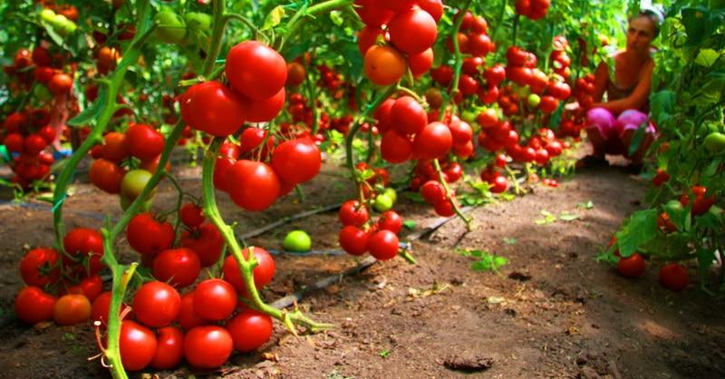 Piebaroju tomātus vienu reizi un raža visiem par lielu prieku!