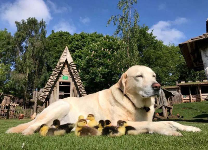Labradors kļuva par audžuvecāku 9 pīlēniem