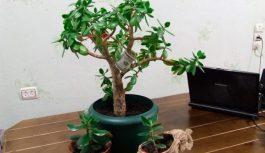 Triki, kā pareizi izaudzēt naudas koku, kas palīdz piesaistīt finanses jūsu mājās