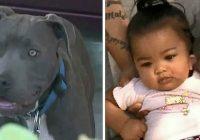 Pitbulterjers satvēra 7 mēnešus vecu bērniņu un iznesa to no istabas. Suņa īpašniece nezina, kā pateikties sunim!