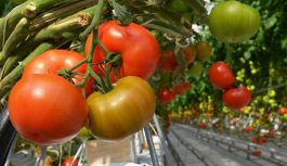 Lūk, ar ko jāapkaisa tomāti, lai būtu bagātīga raža. Un nekādas ķimikālijas!